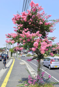ピンクの花が咲き誇ったサルスベリ=松江市春日町