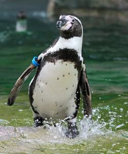 水しぶきを上げて歩くフンボルトペンギン=竹谷俊之撮影