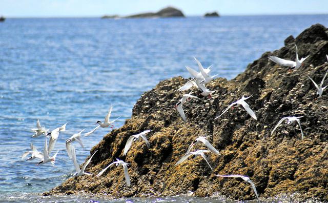 岩場から飛び立つベニアジサシとエリグロアジサシ=2010年夏、いずれも奄美大島周辺、常田守さん撮影