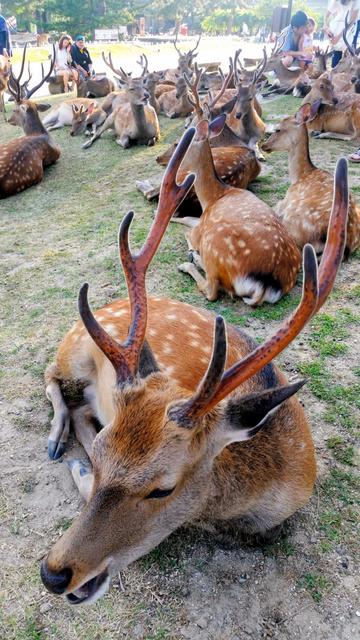 奈良国立博物館前で密集して寝そべる鹿たち=奈良市
