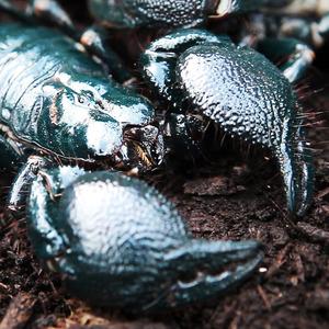 黒光りした体色に、大きなハサミが特徴のダイオウサソリ。体の尾部分に毒針をもっているが毒性は低い=2015年10月、竹谷俊之撮影