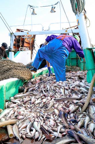 底引き網漁では試験操業対象魚種以外の魚も多く揚がる。甲板の上では「大漁」でも、8割近くを海に戻すこともある=県北部沖合
