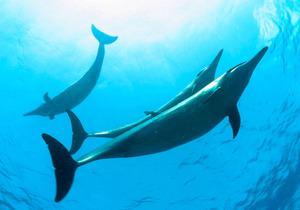 イルカと泳ぐツアー禁止に? ハワイ沿岸の規制案公表