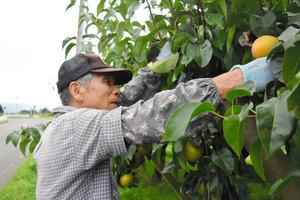 台風に備えて、風にさらされる道路沿いのナシを優先的に収穫するナシ農家=29日午後、福島市大笹生