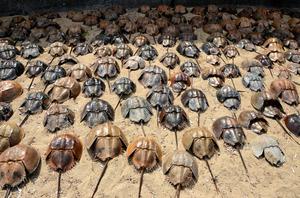 カブトガニ、謎の大量死 来年の産卵数に懸念 北九州