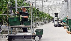 日揮などによる野菜工場。土は使わず、水溶の化学肥料でトマトとキュウリを育てている=ハバロフスク
