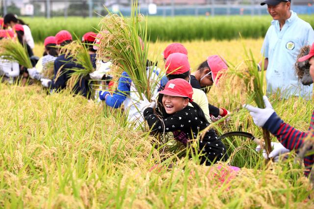 「奇跡の復興米」を収穫する小学生ら=14日午前9時51分、大阪府富田林市、細川卓撮影