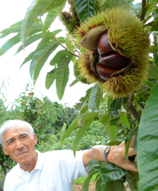 平野さんが栽培する「ぽろたん」。大きな実がなるのも特徴だ=琴浦町光好