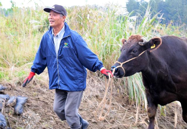 飯舘村に帰ってきた牛を牛舎へ引っ張る山田長清さん=16日午後、飯舘村伊丹沢