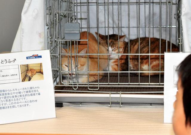 千代田区などが開く譲渡会で、新しい飼い主との出会いを待つ猫たち=同区役所