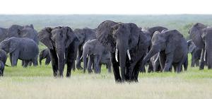 草原を歩くアフリカゾウの群れ=ケニア・アンボセリ、三浦英之撮影
