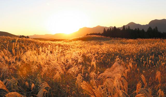 夕日で黄金色に輝く曽爾高原のススキ