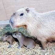 カピバラに赤ちゃん2匹誕生 福岡の動物園に新しい仲間