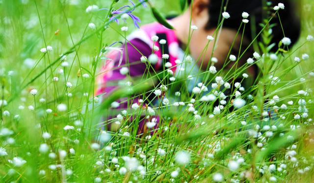 見頃を迎えたシラタマホシクサ。かれんな白い花が咲き誇っていた=名古屋市千種区の東山植物園、吉本美奈子撮影