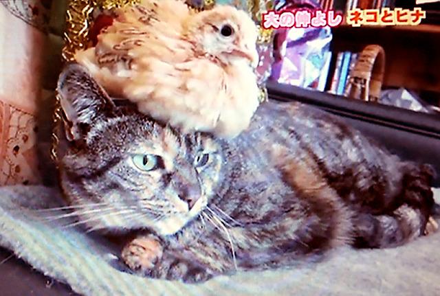 NHK「○○!投稿DO画」で紹介された視聴者からの投稿動画。鳥のヒナと仲の良い猫の様子を紹介(過去の放送から)