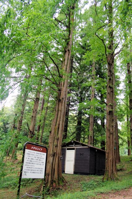 大阪市立大学理学部付属植物園内で巨木に育ったメタセコイア=交野市