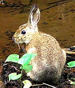 長池公園で08年に撮影されたノウサギ=NPOフュージョン長池提供