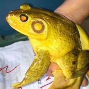 全身黄色のウシガエル捕獲 専門家も「聞いたことない」