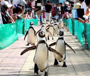 観客たちが見守る中、駆け抜けるフンボルトペンギンたち=1日午後、愛知県美浜町、吉本美奈子撮影