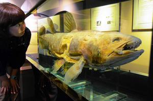 2013年にアクアマリンふくしまで展示されたシーラカンスの標本=いわき市