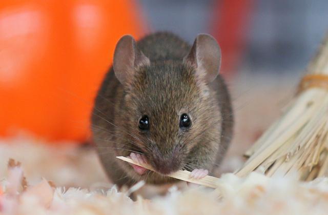 ハツカネズミの画像 p1_6