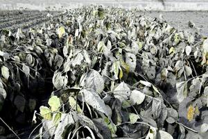 阿蘇中岳の爆発的噴火で大豆畑に灰が降っていた=8日午前9時33分、熊本県阿蘇市、福岡亜純撮影