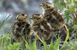 北岳周辺で生まれたライチョウのヒナ。ケージ保護で無事大きく育った=7月、長野朝日放送提供
