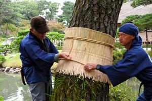 松にこもを巻く庭師=広島市中区の縮景園