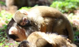 母親の背中で気持ち良さそうに眠るボリビアリスザルの子ども=竹谷俊之撮影