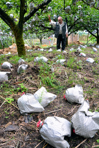 ナシ農家の平尾一己さん(奥)の畑では、袋がけをしてあった晩生(おくて)ナシの「愛宕」が数多く地面に落ちていた=22日午後1時36分、鳥取県湯梨浜町、横山翼撮影