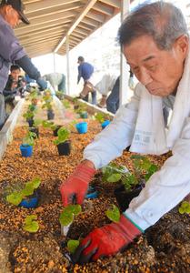 育てたフタバアオイの苗を太陽光発電施設の下に設けた花壇に移植する「吉江あおい会」のメンバーら=鯖江市小泉町