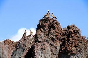 溶岩の上にとまるカツオドリ=20日、東京都小笠原村の西之島、環境省提供