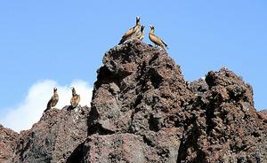 溶岩の上にとまるカツオドリ=環境省提供