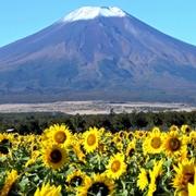 富士山、最遅タイの初冠雪 ヒマワリと共演