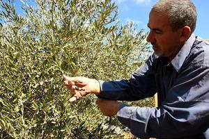 パレスチナ自治区ヨルダン川西岸シルワド村の畑で、旬のオリーブを摘むサビット・ソボさん