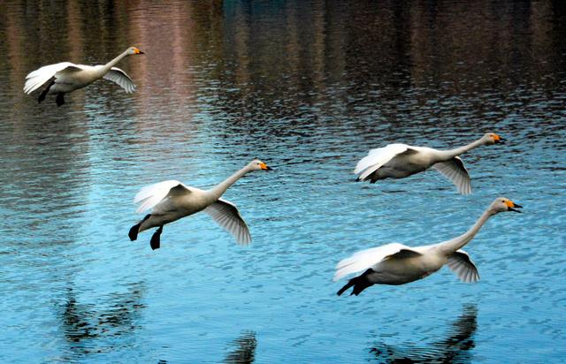 高松の池の上を飛ぶハクチョウの群れ=盛岡市