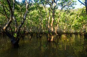 河口に広がるマングローブ林。20~30年前は幼木だったという=いずれも奄美市住用町、常田守さん撮影