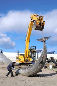 計測のために重機でつり上げられるアカボウクジラ=29日午前9時35分、福島県いわき市小名浜下神白地区、鬼室黎撮影