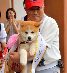 2012年7月、プーチン大統領に贈られる前の式典でお披露目された秋田犬「ゆめ」=秋田県大館市の秋田犬会館