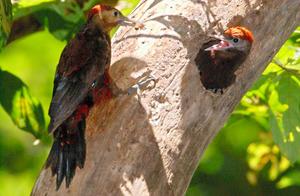 ノグチゲラ(国特別天然記念物、国内希少野生動植物種、絶滅危惧ⅠA類)