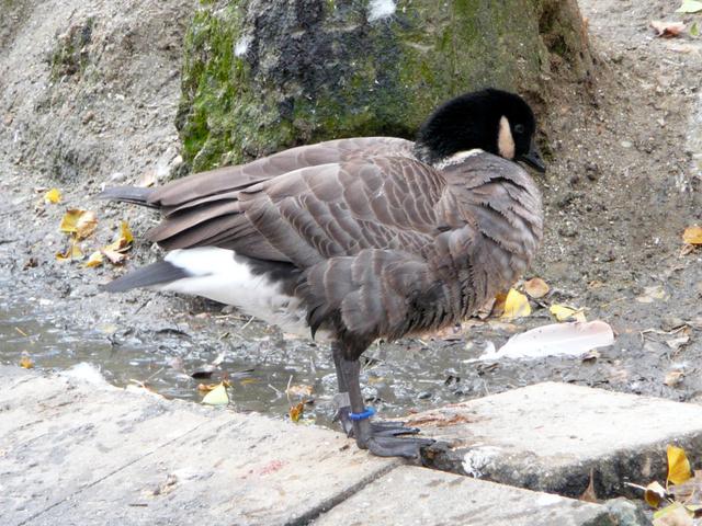 東山動植物園で飼育されているシジュウカラガン=同園提供