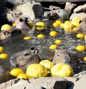 ゆずが浮かべられた露天風呂につかるカピバラ=21日午前、静岡県伊東市、北村玲奈撮影