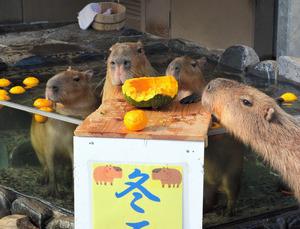 ユズ湯につかり、カボチャを食べるカピバラの家族=能美市徳山町のいしかわ動物園