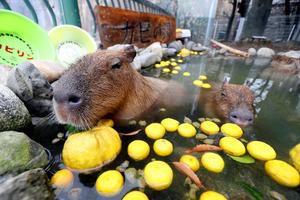 ゆず湯につかるカピバラたち=21日、北九州市八幡東区のスペースワールド、金子淳撮影