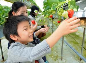 イチゴ狩りをする子どもたち=福島市