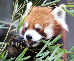 竹の葉を食べるレッサーパンダの風太=竹谷俊之撮影