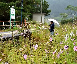 放置されコスモスが茂るJR山田線の浪板海岸駅=2013年10月