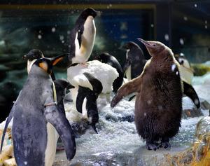 ふわふわ茶羽、赤ちゃんペンギンお目見え 大阪・海遊館