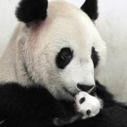 パンダの親子、相次ぎ急死 上海の動物園、原因はナゾ