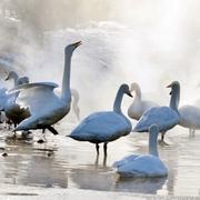 ハクチョウ、湯ったり 大寒の朝、温泉で羽休め 北海道